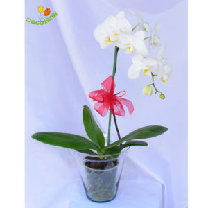 Orquidea phalaenopsis blanca