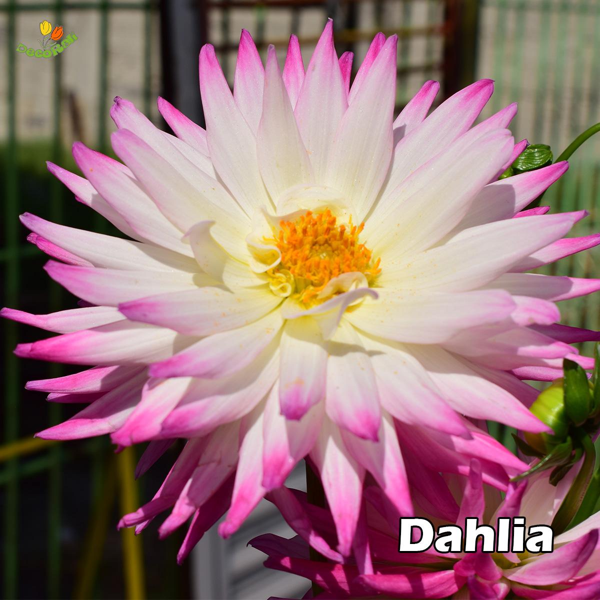 Dahlia originaria de mexico