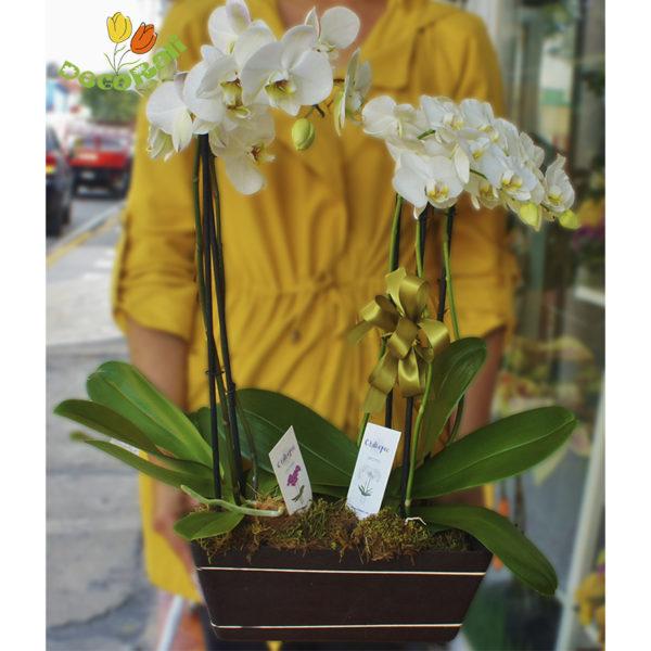 Orquidea phalaenopsis doble