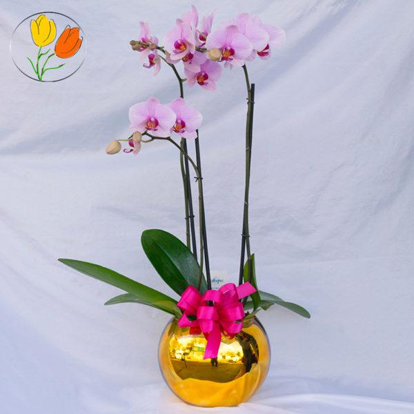 Phalaenopsis en pecera premium