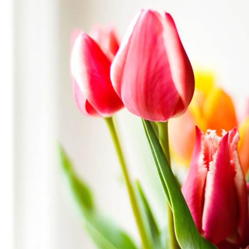 Tulipanes ¡La flor más conocida!