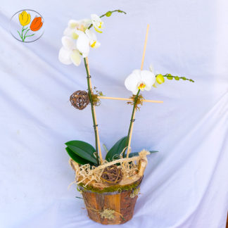 Phalaenopsis en maceta de corteza